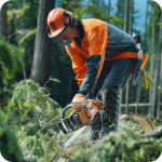 Валка леса бензопилой