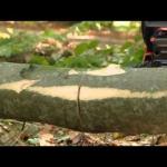 Валка деревьев бензопилой видео